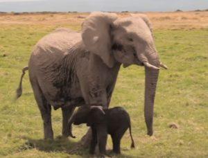 elephant-chasse